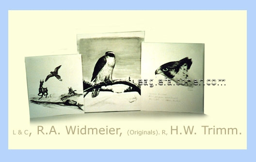 Sketches by Widmeier, Trimm at the Arichives of Falconry