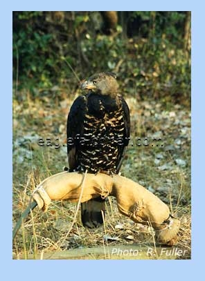 Crowned Eagle on a bowperch