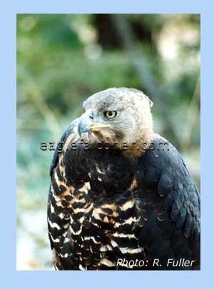 Crowned Eagle trained