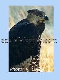 Crowned Eagle at rest
