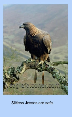 Golden Eagle wearing aylmeri jesses.