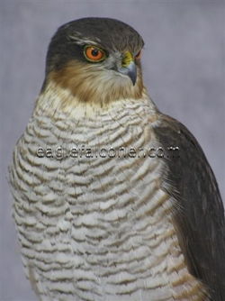 Sparrow Hawk by Carl Church