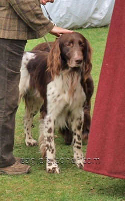 German Long Haired pointer at the  Festival of Falconry