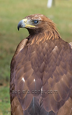 Golden Eagle,  Festival of Falconry