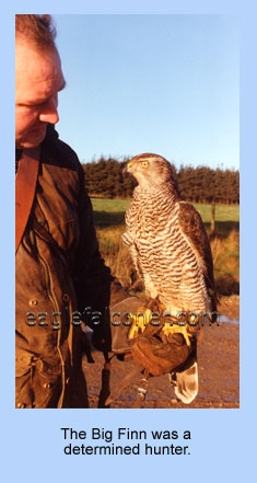 Goshawk from Finland