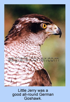 Adult Goshawk