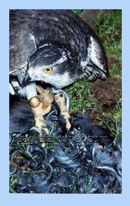 Goshawk with moorhen
