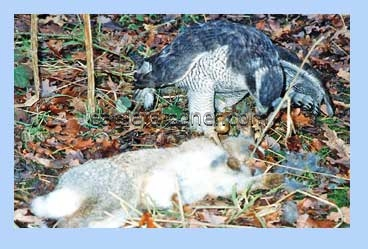 Goshawk with rabbit