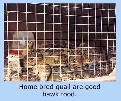 Quail for hawk food
