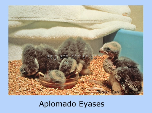 Young Aplomado Falcons.