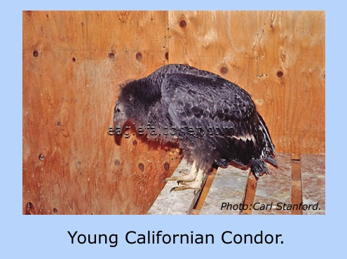 Young Californian Condor.