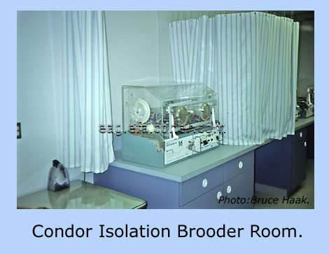Condor Isolation brooder room.