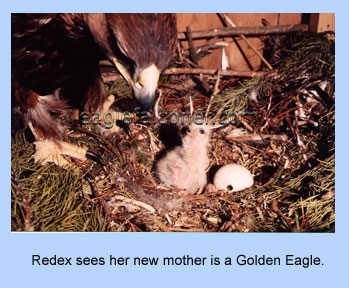 Red tail hawk fostered by a Golden Eagle mother.