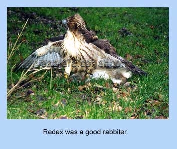 Redtail with rabbit kill