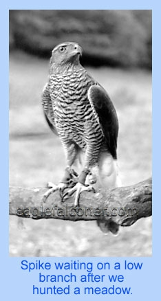 Goshawk, adult male