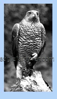 Male adult goshawk