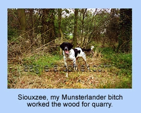 Munsterlander working woodland