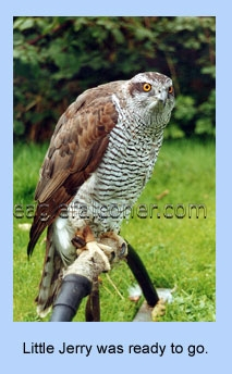 Goshawk on bowperch